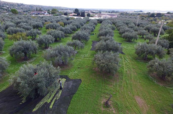 クトレラのオリーブ農園