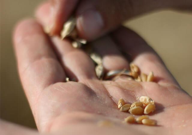 こだわった小麦